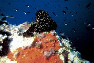 Un exemple del mol·lusc opistobranqui conegut amb el nom de dimoni. Foto: Rainer Klingner.