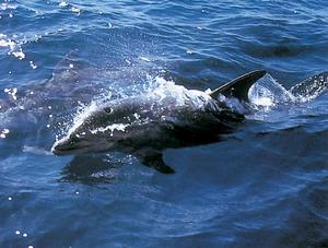 Un dofí mular. És el més utilitzat per domesticar als grans aquaris. Foto: Manu San Félix.
