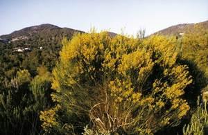 La <em>Genista dorycnifolia</em> subespècie <em>dorycnifolia</em>, endemisme pitiús. Foto: Guillem Puget Acebo.