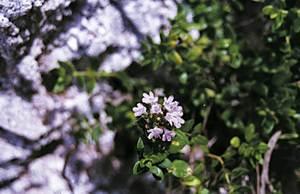 Exemple d´endemisme piti&uacute;s: <em>Thymus richardii</em>. Foto: Guillem Puget Acebo.