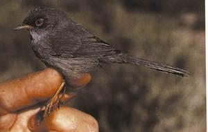 Un ocell del grup dels enganyapastors. Foto: Gabriel Gargallo.
