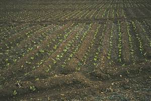 Entaular és preparar el terreny per sembrar-hi plantes i poder-les regar segons el sistema tradicional. Foto: Antoni Ferrer Abárzuza.