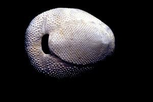Equinoïdeus. Closca d´un bogamarí cor cendrós. Foto: G. G. Lama.