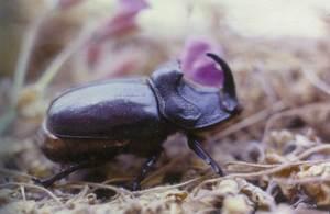 Un escarabat banyut (<em>Copris hispanicus</em>). Foto: Guillem Alomar Canyelles.