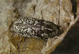 Escarabat del pi (<em>Polyphila fullo</em>). Foto: Guillem Alomar Canyelles.
