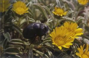 Escarabat merder (<em>Scarabeus laticollis</em>). Foto: Guillem Alomar Canyelles.