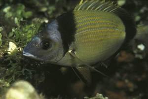 Una variada, peix de la família dels espàrids. Foto: Rainer Klingner.