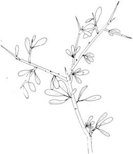 Dibuix d´una espinalera, extret de <em>Nova aportació al coneixement de les plantes d´Eivissa i Formentera</em>.