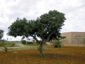 Un garrover esporgat, per tal d´afavorir les condicions de producció.