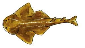 Un escat, peix de la família dels esquatínids. Foto: extret de <em>Guía de la flora y fauna del mar Balear</em>.
