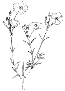 Dibuix d´un esteperol. Extret de <em>Nova aportació al coneixement de les plantes d´Eivissa i Formentera</em>.