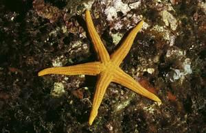 Una estrella de mar de l´espècie<em> Hacelia atenuatta</em>. Foto: Manu San Félix.