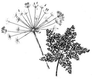 Dibuix d´una farònia. Extret de <em>Nova aportació al coneixement de les plantes d´Eivissa i Formentera</em>.