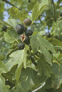 La figa és la infructescència de la figuera, arbre molt abundant a les Pitiüses. Foto: Marià Planells Cardona.