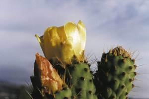 La figuera de pic és una planta originària d´Amèrica, molt estesa pel camp eivissenc i formenterer. Foto: arxiu de Guillem Puget Acebo.