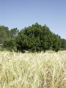 La figuera és un arbre cultivat a les Pitiüses des dels temps antics i un element característic del paisatge agrícola illenc. Foto: EEiF.