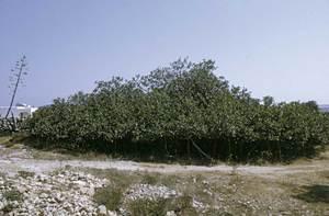 Un exemplar de figuera de Formentera. Foto: Marià Planells Cardona.