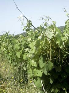 La fil·loxera és un paràsit que ataca les vinyes i que s´estengué a final del s. XIX per tot Europa. Foto: Felip Cirer Costa.