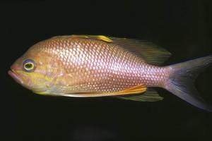 La forcadella vera és un peix de la família dels serrànids. Foto: Rainer Klingner.
