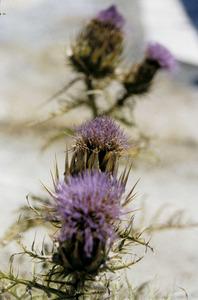 Herba de formatjar (<em>Cynara carduncullus</em>). Foto: Chus Adamuz.