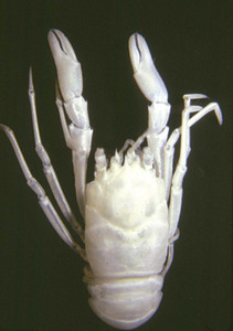 Vista dorsal d´un exemplar de crustaci de la família dels galateids.