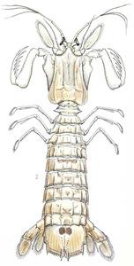El crustaci <em>Squilla mantis</em>, anomenat galera. Dibuix: Jordi Corbera - Mikel Zabala / Història Natural dels Països Catalans.