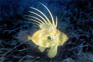 El gall, peix conegut també amb el nom de peix de Sant Pere. Foto: Manu San Félix.