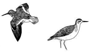 La gallineta d´aigua <em>Actitis hypoleucos</em>. Dibuix: VFM.