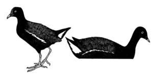 La gallineta d´aigua <em>Gallinula chloropus</em>. Dibuix: VFM.