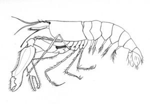 Una gambeta de boca grossa (<em>Alpheus dentipes</em>). Dibuix: Juan Costa-Hoevel Schwab.