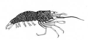 Una gambeta de taques grogues (<em>Gnathophyllum elegans</em>). Dibuix: Juan Costa-Hoevel Schwab.