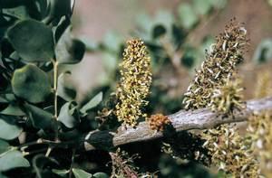 La flor del garrover, apreciable a final d´estiu rep el nom de borra. Foto: Cristòfol Guerau d´Arellano Vilanova.