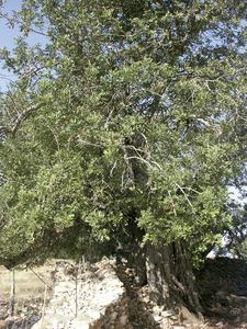 El garrover és un arbre que pot arribar als 150 anys de vida. Foto: Chus Adamuz.