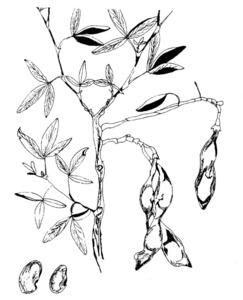 Un tany d´un garrover del diable, amb els seus fruits. Dibuix: Josep Escandell.