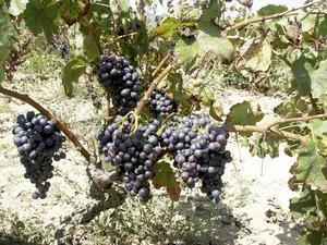 Raïm negre de vinificació de la varietat giró. Foto: Cristòfol Guerau d´Arellano Vilanova.