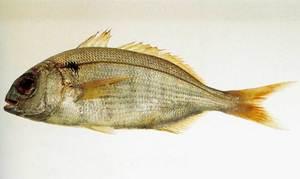 Un goràs, peix de la família dels espàrids que, a la Mediterrània, pot arribar a trobar-se fins als 400 m de fondària. Foto: J. R. Bonet / <em>Peixos de les Illes Balears</em>.