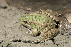 Una granota. Foto: David Carrera Bonet.