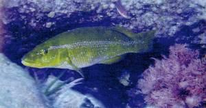 El peix griva (<em>Labrus viridis</em>). Foto: Jean-Georges Hamelin / <em>Història Natural dels Països Catalans.</em>