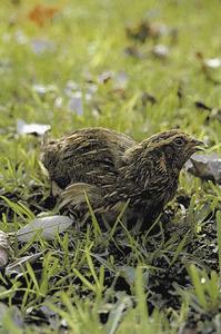 Una guàtlera, ocell no molt abundant a les illes Pitiüses. Foto: Oriol Alamany / <em>Història Natural dels Països Catalans</em>.