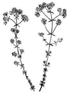 Herba de Sant Ponç. Dibuix: Josep Escandell.