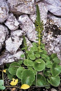 Herba de foc (<em>Umbilicus horizontalis</em>). Foto: Cristòfol Guerau d´Arellano Tur.