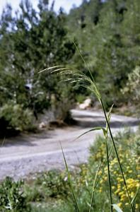 Herba forta (<em>Piptatherum miliaceum</em>). Foto: Jaume Espinosa Noguera.