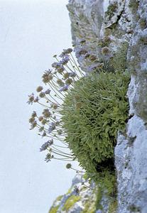Herba penyalera (<em>Scabiosa cretica</em>). Extret de <em>Nova aportació al coneixement de les plantes d´Eivissa i Formentera</em>.
