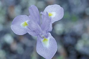 Detall d´una flor d´una planta de la família de les iridàcies. Foto: David Carrera Bonet.
