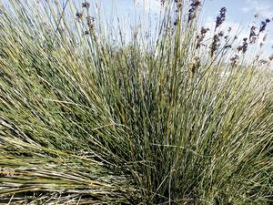 Una planta de jonc, freqüent a terrenys salobres. Foto: EEiF.