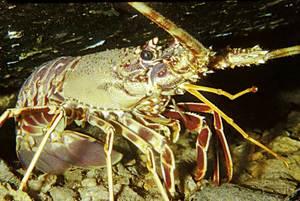 El crustaci <em>Palinurus elephas</em>, llagosta, espècie present a les aigües pitiüses. Foto: Manu San Félix.