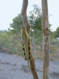 Una llagosta, insecte ortòpter conegut popularment com a cavallet. Foto: Neus Torres Roig.