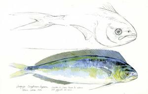 La llampuga és una espècie molt preuada a les Balears, especialment a Mallorca. Dibuix: Juan. M. Varela / <em>Les terres de Baliar</em>.