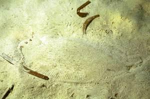 Un llenguado, peix amb una gran capacitat mimètica per camuflar-se. Foto: Manu San Félix.