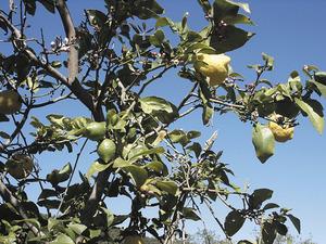 Detall d´un llimoner conegut com quatre estacions, per tenir fruit tot l´any. Foto: M. Marí.